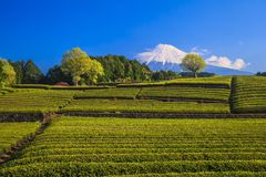 Tea plantation and Mt. Fuji Stock Photo