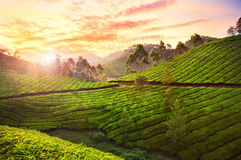 Tea plantation in Munnar Royalty Free Stock Image