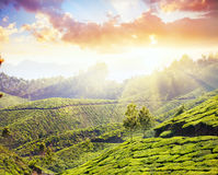 Tea plantation in Munnar Royalty Free Stock Images
