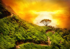 Tea plantation in Munnar Royalty Free Stock Photo