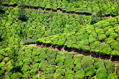 Tea plantation in Munnar Stock Photography