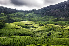 Tea plantation in Munnar Royalty Free Stock Photos