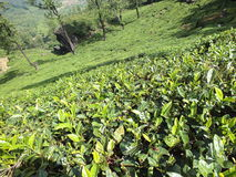Tea plantation. In Munnar hills Royalty Free Stock Photo