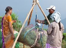 Tea plantation in Munnar, Kerala, South India. MUNNAR, INDIA - JANUARY 18, 2016: Indian man weighs a bag of green tea in tea plantation in Kerala, South India stock photography