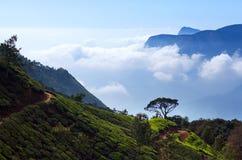 Tea plantation in Munnar, Kerala, South India Stock Photo