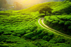 Tea plantation. Natural lanscape Stock Image
