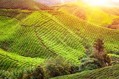 Tea plantation. Natural lanscape Royalty Free Stock Photos
