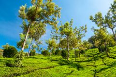 Tea plantation nature background landscape. Amazing landscape view of tea plantation nature background stock image