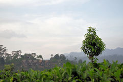 Tea plantation nature landscape in Sri Lanka. A landscape with tea plantations in the hill country of Sri Lanka Stock Photo