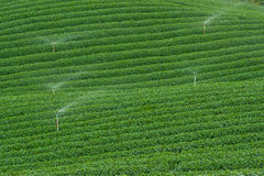 Tea plantation, Nature, Plant, Leaf, Sprinklers Royalty Free Stock Images