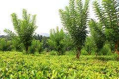 The tea plantation near Kandy Royalty Free Stock Photos