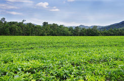 Tea plantation near the rainforest Stock Image