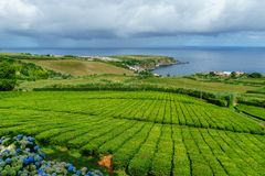 Tea plantation on the north coast of Sao Miguel Island in the Azores. Rural landscape with tea growing farm. Beautiful hydrangeas. In the foreground and the sea royalty free stock image