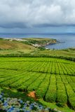 Tea plantation on the north coast of Sao Miguel Island in the Azores. Rural landscape with tea growing farm. Beautiful hydrangeas. In the foreground and the sea stock image