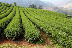 Tea plantation. In the north of Thailand Stock Photography