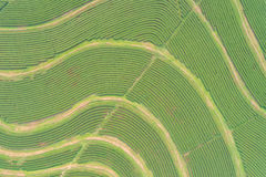 Tea plantation in north of Thailand. Aerial view from flying dro Stock Photo