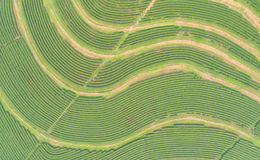 Tea plantation in north of Thailand. Aerial view from flying dro Royalty Free Stock Photos