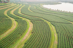 Tea plantation in north of Thailand. Aerial view from flying dro Royalty Free Stock Image