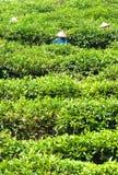 Tea plantation, North Vietnam. Stock Photos
