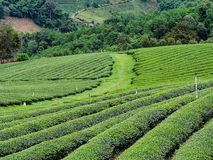 Tea plantation in the northern of Thailand Stock Photos