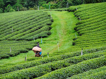 Tea plantation in the northern of Thailand Stock Photo