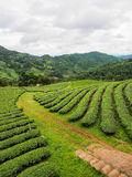 Tea plantation in the northern of Thailand Royalty Free Stock Photography