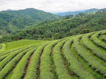 Tea plantation in the northern of Thailand Royalty Free Stock Photo