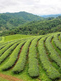 Tea plantation in the northern of Thailand Stock Image