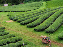 Tea plantation in the northern of Thailand Royalty Free Stock Image