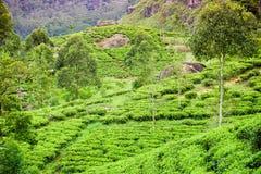 Tea plantation at Nuvara Ellia Royalty Free Stock Photo