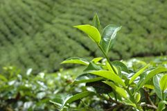 Tea plantation in Nuwara Eliya,Ceylon Stock Photo
