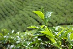 Tea plantation in Nuwara Eliya,Ceylon stock photo