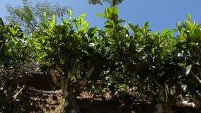 Tea plantation stock video