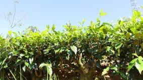 Tea plantation stock video footage