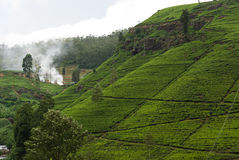 Tea plantation Royalty Free Stock Images