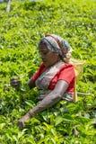 Tea plantation in Nuwara, Sri Lanka Royalty Free Stock Image