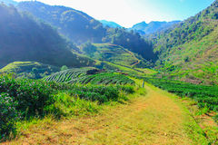 Tea plantation. In one of the best travel in Thailand Royalty Free Stock Photography