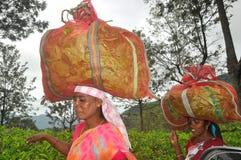 Tea Plantation Ooty royalty free stock photo