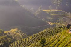 Tea plantation organic field with fog on the highland mountain Royalty Free Stock Photo