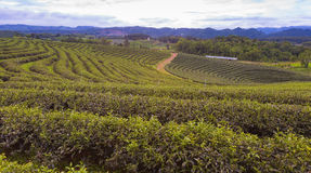 Tea plantation over high land locate. In north of Thailand Royalty Free Stock Photo
