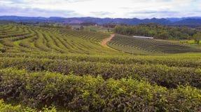 Tea plantation over high land locate Royalty Free Stock Photo
