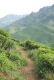 Tea Plantation Path royalty free stock photos