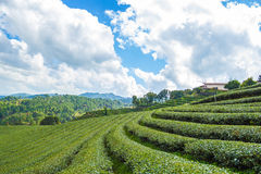 Tea plantation. This photo are Tea plantation in province Chiangrai North of Thailand Royalty Free Stock Photos
