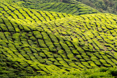 At the tea plantation Royalty Free Stock Image