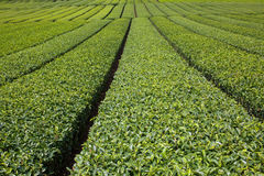 Tea plantation. Pictured japanese tea plantaion in summer Stock Image
