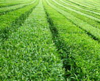 Tea plantation Stock Photography