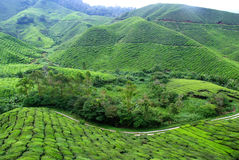 Tea plantation. Plantation planted with tea plantations farmers grow tea trees. Mountain areas for plantations Stock Images