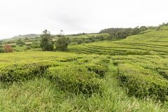 Tea plantation. A tea plantation on the Portuguese island of Sao Miguel in the Azores royalty free stock photo