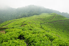 Tea plantation of Puncak, Indonesia Stock Photos