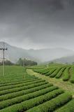 Tea plantation Royalty Free Stock Images